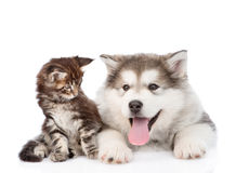 Small maine coon cat looking looking at a alaskan malamute dog. Isolated on white background Royalty Free Stock Photo