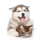 Small maine coon cat lying with alaskan malamute dog. isolated Royalty Free Stock Photos