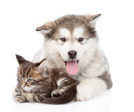 Small maine coon cat lying with alaskan malamute dog.. On white Royalty Free Stock Image