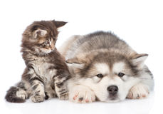 Small maine coon cat and sad alaskan malamute dog. isolated on white Royalty Free Stock Image