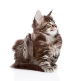 Small maine coon cat scratching isolated on white background Royalty Free Stock Images