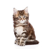 Small maine coon cat sitting in front. isolated on white Royalty Free Stock Photos