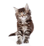 Small maine coon cat standing in front. isolated on white Royalty Free Stock Photos