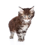 Small maine coon cat standing in front. isolated on white Stock Images