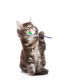 Small maine coon cat with toothbrush,. isolated on white Stock Image