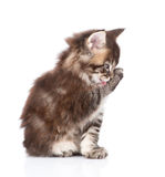 Small maine coon cat washing itself. isolated on white backgroun Stock Photos