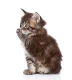 Small maine coon cat washing itself. isolated on white Stock Photos