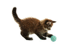The small maine coon kitten Stock Image