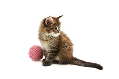 The small maine coon kitten Royalty Free Stock Images