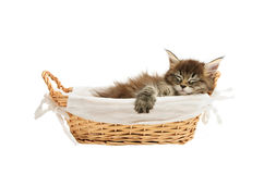 The small maine coon kitten Royalty Free Stock Photo