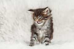 Small maine coon kitten laughs Stock Photography