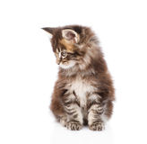 Small maine coon kitten looking away. isolated on white background Stock Images