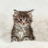 Small maine coon kitten sitting on white fur Royalty Free Stock Photography