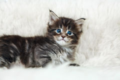 Small maine coon kitten with surprise big eyes Royalty Free Stock Images
