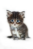 Small maine coon kitten on white bacjground fur Stock Photography