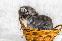 Small maine coon kitten in yellow basket Stock Photography