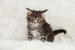 Small maine coon kitty on white fur Royalty Free Stock Images
