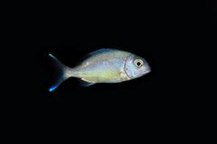Small Makerel. Underwater photo of an small makerel-fish Royalty Free Stock Photography
