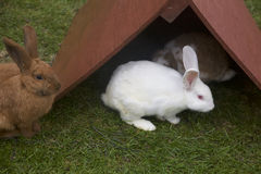Small, Makeshift Roof Protects Albino Bunny and Friends from Impending Rain Stock Photos
