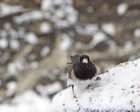 Small Male Junco Bird With Snow on Face. A small male Junco bird (Junco hyemalis) with snow on his face Stock Photo