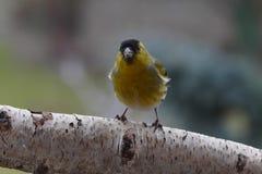 Small song bird. Small male siskin song bird Stock Photos