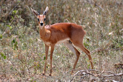 Small male steenbok being  alert Stock Images