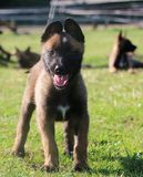 Malinois puppy portrait in the park. Small malinois puppy is standing in the garden Royalty Free Stock Image