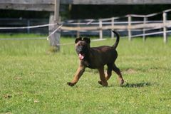 Walking malinois puppy in the garden. Small malinois puppy is walking in the garden Stock Images