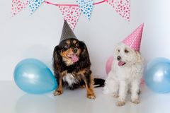 Small maltese cross female dog with a male cavalier cross terrier with party hat on and balloons. Cute small dogs sitting down with pink and blue balloons and Royalty Free Stock Images