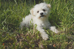 Small Maltese dog lying in the grass in the outdoors. Design Stock Images