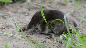 Small mammal Common shrew (Sorex araneus) on grass