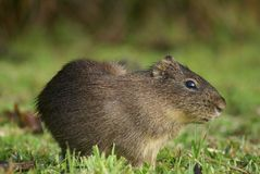 Small mammal in grassland Royalty Free Stock Photography