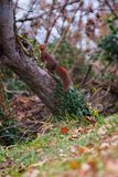 The voracious common squirrel, restless as always. It is a small mammal, its body is elongated and narrow, with a long tail of spongy appearance and very full of royalty free stock image