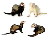 Small Mammals [Isolated]. Differently posed ferrets isolated on a white background. Great for avatars, postcards, get well cards, attention-getting stock photos