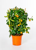Small mandarin bush Stock Image