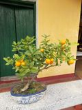 Small Mandarin Tree. The mandarin orange, also known as the mandarin or mandarine, is a small citrus tree with fruit resembling other oranges, usually eaten stock image