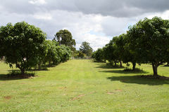 Small Mango Orchard. Located in Queensland, Australia Royalty Free Stock Photography