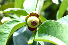 A Mangosteen Royalty Free Stock Photography