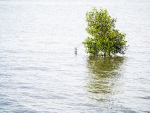 Small mangrove tree on the coast Stock Photography