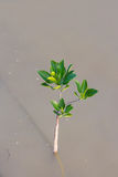 Small mangrove tree Stock Photography