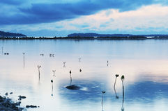 Small mangrove trees after a tropical storm royalty free stock photo