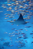 Small manta ray swimming through swarm of fish. A small manta ray swimming in front of a swarm of other smaller fish Stock Image