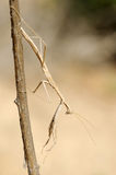 Small mantis on a branch Royalty Free Stock Photography