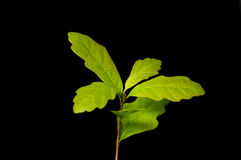 Small maple on a black background Royalty Free Stock Photos
