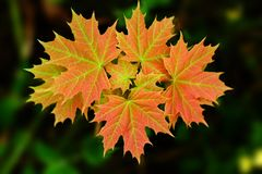 Small maple. First pitched their carved leaves toward the sun. This is the first year of his life. And if he is lucky, in a few years it will have a large and Stock Image
