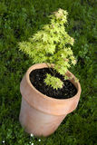 Small maple tree. In pot, latin name acer palmatum Royalty Free Stock Photo