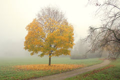 Small maple tree with golden leaves in misty autumn morning Royalty Free Stock Images
