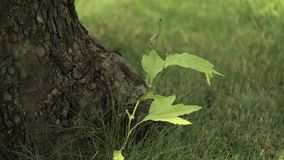 Small maple tree shaking leaves in wind, Scion of young maple, young maple next to the old tree stock video footage