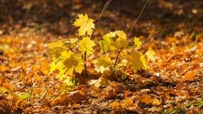 Small maple tree Royalty Free Stock Photo