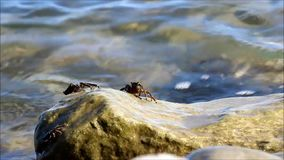 Small marble crabs of Pachygrapsus marmoratus eat seaweed from the surface of the stone on the Black Sea. stock video